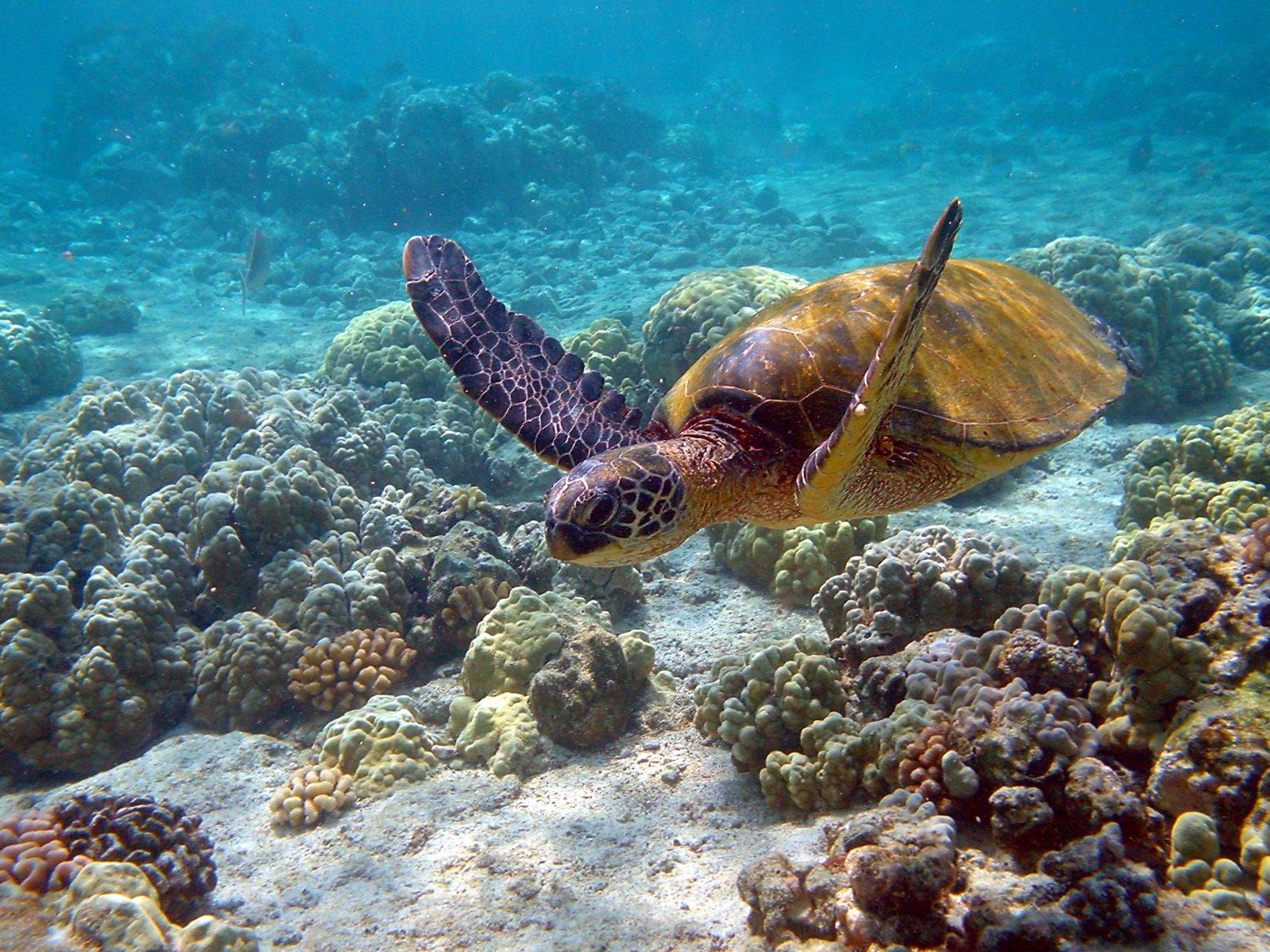 hawaii_turtle